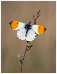 Orange Tip (nigel kiteley2011) Tags: orangetip insects butterfrlies nature butterfly macro canon 5dmk3 lepidoptera anthochariscardamines