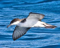 Ardenna bulleri (Manning and Hastings Birds) Tags: pelagic birds macleay valley south west rocks nsw barry m ralley barrymralley ardenna bulleri bullers shearwater
