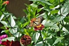 Patio Wildlife No. 5, Monarch Butterfly (cobbu2) Tags: pentax k3ii hd pentaxda f4563 55300mm ed plm wr re hdpentaxdaf456355300mmedplmwrre