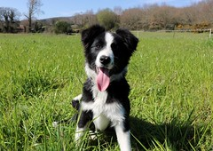 Brus (albavv46) Tags: national fun dog pet puppy fur collie border perro perros dogs pets animals animal friend green grass forest spring sky blue funny cute like pic picture nature photography canon sunny day outside mascota hair portrait spain galicia europe exterior verde
