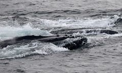 Humpback Whales feeding with sea water being forced out of the mouth as it closes (Paul Cottis) Tags: humpback whale cetacean marine mammal feed swim swimming lunge ocean sea southernocean antarctica gerlachestrait antarcticpeninsula paulcottis 3 february 2019 feb
