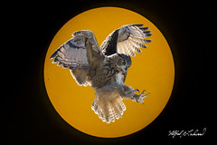 Eagle Owl_T3W2126_20A1473 (Alfred J. Lockwood Photography) Tags: alfredjlockwood nature wildlife raptor eurasianeagleowl eagleowl owl birdsinflight birdsofprey flight sun composite photomanipulation ontario canada