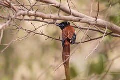 Red Bellied Paradise Flycatcher (arthurpolly) Tags: avian avianexcellence birds beautiful canon 7dmk2 100400is eos elements13 flickrdiamond gambia holiday impressedbeauty liesure nature nationpark flycatcher photoshop wildlife exotic