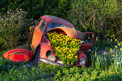An old defect red volkswagen full of daffodils (jan.vd.wolf) Tags: keukenhof thenetherlands lisse zuidholland nederland nl volkswagen car daffodils flowers bollen bulbs