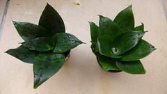 Sansevieria trifasciata 'Jade' (tanetahi) Tags: succulent sansevieria nolinoideae jade darkgreen cultivar sansevieriatrifasciata plant tanetahi