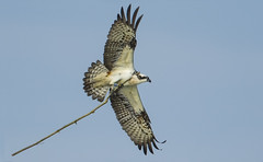 Row, Row, Row Your Boat (Ann and Chris) Tags: avian awesome bird birdofprey flying impressive osprey rutlandwater rutland stunning wild wildlife