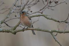 Peippo (TheSaOk) Tags: peippo fringillacoelebs lintu lintukuva bird birds birdlife finnish finland lauttasaari helsinki