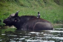 Buffalo Bird (pbr42) Tags: africa uganda queenelizabethnationalpark nationalpark hdr water lake crater bird h2o kazinga kazingachannel animal buffalo nature