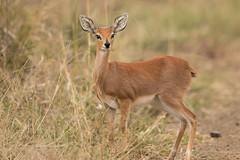 Raficero Común (ik_kil) Tags: raficerocomún antelope steenbok raphiceruscampestris krugernationalpark kruger southafrica