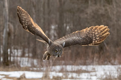 Great Grey Owl in flight (dwb838) Tags: greatgreyowl flight