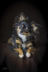 Just too adorable (morin.luce) Tags: longhaired chihuahua tricolor adorable canon 5d mark iii male beautiful young puppy attentive curious cute canine black