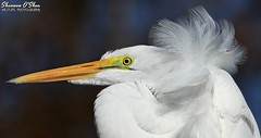 Sometimes you just have to ruffle a few feathers (Shannon Rose O'Shea) Tags: shannonroseoshea shannonosheawildlifephotography shannonoshea shannon greategret egret bird beak profile closeup close white feathers headfeathers lores yelloweye windy breezy plumage alligatorbreedingmarshandwadingbirdrookery gatorland orlando florida rookery gatorlandbirdrookery nature wildlife waterfowl colorful colourful art photo photography photograph wild wildlifephotography wildlifephotographer wildlifephotograph flickr wwwflickrcomphotosshannonroseoshea smugmug ardeaalba camera canon canoneos80d canon80d canon100400mm14556lisiiusm eos80d eos 80d 2018 femalephotographer girlphotographer womanphotographer shootlikeagirl shootwithacamera throughherlens fauna birdphotographer naturephotographer portrait