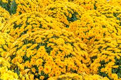 Blütentraum 2 (KaAuenwasser) Tags: chrysanthemen blüten blütenmeer blumen pflanzen deko farben bunt farbig blütentraum traum gelb