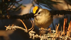 male Golden-crowned Kinglet (Greatblue1) Tags: regulussatrapa goldencrownedkinglet birdinginbritishcolumbia summerland okanaganbirding