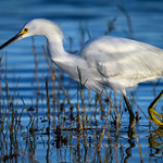 Snowy egret fishing at sunrise at Babcock Wildlife Management Area near Punta Gorda, Florida thumbnail