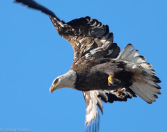 Bald Eagle (Ceredig Roberts) Tags: baldeagle haliaeetusleucocephalus