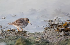 Purple Sandpiper / paarse strandloper (douwesvincent) Tags: sea wadden water winter birding photo outdoor cold freezing surviving peer holwerd holland sunny wheather cool enjoying nature out world friesland rocks brown fauna birds birdwatching