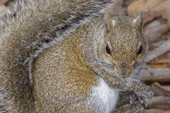 Eastern Gray Squirrel (DFChurch) Tags: sixmilecypressslough fortmyers florida nature animal wildlife eastern gray squirrel