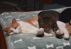 Cousin clamping Otis to the dog bed. (rootcrop54) Tags: cousin male mackerel tabby cat otis dilute orange ginger dogbed sleepingpile neko macska kedi 猫 kočka kissa γάτα köttur kucing gatto 고양이 kaķis katė katt katze katzen kot кошка mačka gatos maček kitteh chat ネコ