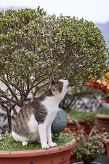 NEX7_DSC00022_C1 (Bazoka+Cynthia) Tags: 小婆 新北市 猴硐 貓 cat ruifangdistrict newtaipeicity taiwan 瑞芳區