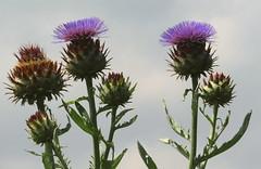 Thistles (Snapshooter46) Tags: familyasteraceae thistle waterperrygarden oxfordshire floralemblemofscotland