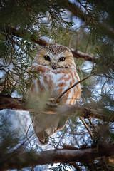 Saw Whet Sunday... (DTT67) Tags: sawwhetowl owl nj 5dmkiv canon5dmkiv canon raptor bird wildlife nature