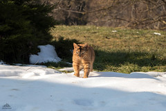 Checking The Quality Of The Snow ❅ (Xena*best friend*) Tags: britney bs cats whiskers feline katzen gatto gato chats furry fur pussycat feral tiger pets kittens kitty animals piedmontitaly piemonte canoneos760d italy wood woods wildanimals wild paws calico markings ©allrightsreserved purr digitalrebelt6s efs18135mm flickr outdoor animal pet photo nature winter snow
