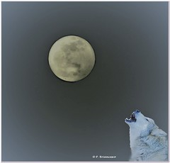 DSC_0063_The moon is of the wolves_© (orsapolaris54) Tags: moon luna wolf lupo