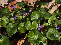 Viola odorata (Sweet Violet) (Hugh Knott) Tags: violaodorata sweetviolet flora flower anglesey wales uk violaceae macro