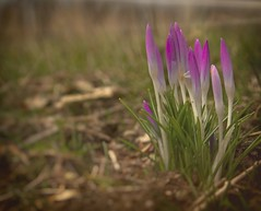 Krokus (tucsontec) Tags: krokus blumen blume frühling spring springtime outdoor nature natur nahaufnahme flower flowers bokeh