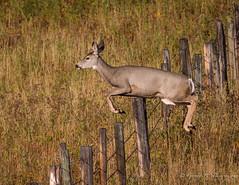 Mule Deer - Hurdles Part Two (Turk Images) Tags: mountain foothillsfall muledeer odocoileushemionus pinchercreek watertonnationalparkarea alberta mammals doe grasslands