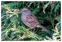 Dunnock (Osdog ARPS CPAGB BPE3*) Tags: dunnock bird wildlife nature