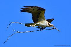 Osprey_04 (DonBantumPhotography.com) Tags: wildlife nature animals birds donbantumcom donbantumphotographycom raptor birdsofprey osprey