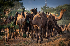 Herd of camels led by Gypsies from the Pushkar Fair grounds, Rajasthan, India (Catherine Gidzinska and Simon Gidzinski) Tags: 2018 india monday november pushkar pushkarfair rajasthan animal fair festival flock gidzinska gidzinski grainconnoisseur herd camel ngc