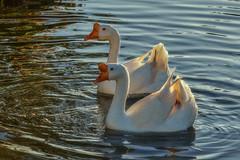 Kao Yai Swans (Thaiexpat) Tags: kaoyai swans thailand lake water