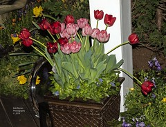 Tulip Display. (rumerbob) Tags: tulips tulip flower floral flowergarden fauna flowerphoto botany botanicalgardens botanical philaflowershow nature naturewatcher naturephotography canon7dmarkii canonef247028liiusm
