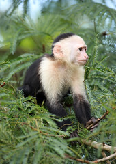 White-faced Capuchin Monkey (ashockenberry) Tags: ashleyhockenberryphotography animal wildlife wildlifephotography wild wilderness eco exotic reserve rica rainforest travel tourism grassland green forest nature naturephotography beautiful beauty perch primate monkey limb branch costa white faced