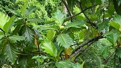 Polynésie 2019 - Tahiti (Valerie Hukalo) Tags: fruit arbreàpain flore océanie polynésiefrançaise frenchpolynesia océanpacifique pacificocean france valériehukalo hukalo tahiti archipel island île archipeldelasociété marae oceania arahurahu