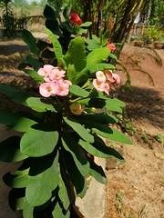 Euphorbia milii Des Moul. Euphorbiaceae-Crown of thorns 3 (SierraSunrise) Tags: thailand phonphisai nongkhai isaan esarn plants flowers spiny thorny crownofthorns euphorbia euphorniaceae pink