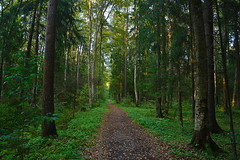 Path through the spruce forest (МирославСтаменов) Tags: russia petersburg forest taiga path