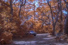 Eucalypts in orange (OzzRod) Tags: pentax k5 fullspectrumconverted smcpentaxm35mmf28 ir infrared vegetation vehicle bushcamping beecroftpeninsula jervisbay nsw