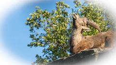 alpine ibex (capra ibex) (Hans was here ...) Tags: alpineibex artiodactyla beatiful bouquetin bovidae capra capraibex caprinae chordata curvedhorn enjoying goat head horns ibex largecurvedhorns mammalia mountains peaceful resting steinbock summer sun sunny wildgoat