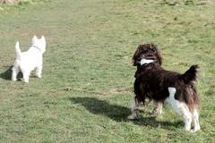 Benjy and Poppy (billnbenj) Tags: benjy spaniel springerspaniel dog barrow cumbria