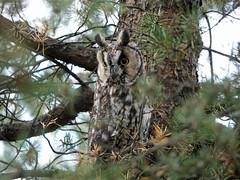 Hibou Moyen-Duc / Long-eared Owl / Asio otus (jeancbenoit51) Tags: moyenduc owl asio jeancbenoit domainedemaizerets