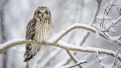 Wintertime Short-eared Owl (Jeff Dyck) Tags: shorteared owl shortearedowl asioflammeus princegeorge bc britishcolumbia winter snow perched bird raptor jeffdyck strigidae strigiformes