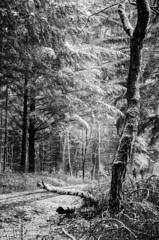 Snowscape (Tom Levold (www.levold.de/photosphere)) Tags: bw köln königsforst forest wald d7000 nikon bäume wood snow trees sw schnee cologne