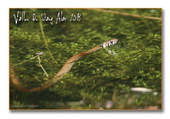 Vallon du Stang alar 2018 - La couleuvre à collier chasse les têtards ... (porte-plume) Tags: stangalard stangalar brest
