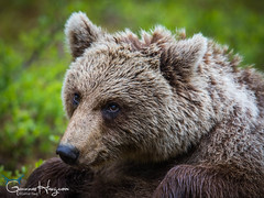 Meditating Bear (GunnarImages (Gunnar Haug)) Tags: mother lick itchy finland trunk nordic brown brownbear power wildlife tree forest cute green mammal blueberry nose branch