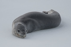 Leopard Seal (nancychristensen79) Tags: antarctic leopard seal