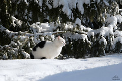 Richard Enjoying The Sun......The Snow.....The Pine ❅ (Xena*best friend*) Tags: richardgere rg pine cats whiskers feline katzen gatto gato chats furry fur pussycat feral tiger pets kittens kitty animals piedmontitaly piemonte canoneos760d italy wood woods wildanimals wild paws calico markings ©allrightsreserved purr digitalrebelt6s efs18135mm flickr outdoor animal pet photo nature winter cold catlover snow frozen freezing winterwonderland ilovewinter ilovesnow catsinthesnow catshavingfuninthesnow wonderfulwinter snowcat